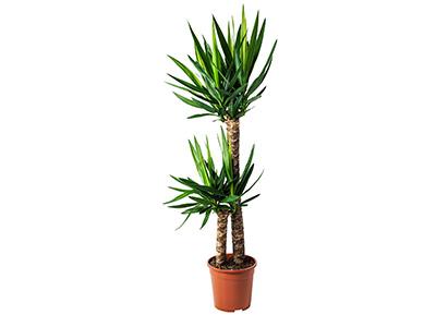Nagyméretű yucca