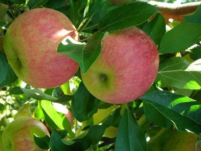 Őshonos gyümölcsfák