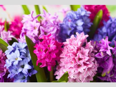 Tavaszi hagymás növények