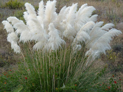 cortaderia selloana white plume